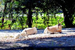 Addax antelope family Stock Images