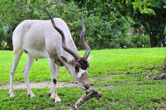Addax Antelope (Horizontal) Stock Photography