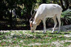 Addax antelope Stock Photography