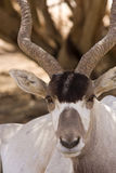 Addax antelope portrait Stock Image