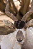 Addax antelope portrait. Portrait of wild addax nasomaculatus antelope on desert Stock Image
