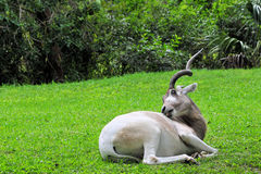 Addax Antelope Scratching Royalty Free Stock Images