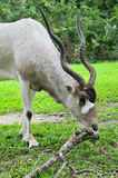 Addax Antelope (Vertical) Royalty Free Stock Image