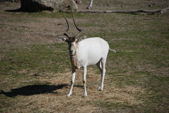 Addax antelope watching Royalty Free Stock Photo