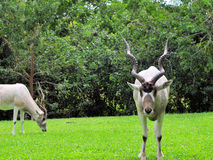 Addax Antelopes Stock Photography