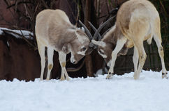 Addax challenge Royalty Free Stock Images