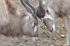 Addax challenge 2 Royalty Free Stock Images