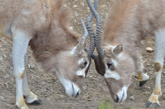 Addax challenge 3 Royalty Free Stock Photography