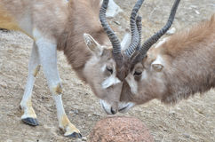 Addax challenge 5 Stock Photo
