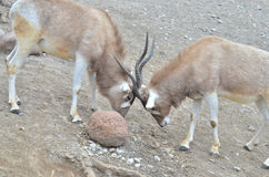 Addax challenge. Two addax challenge each other near a large rock Royalty Free Stock Photography