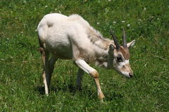 Addax cub Stock Photography
