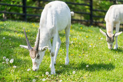 Addax eating blossom flowers. Two addaxes. Horned adax Royalty Free Stock Photography
