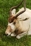 Addax Royalty Free Stock Image