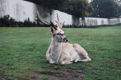 Addax stock images