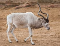 Addax or Mendes antelope: animals from Africa Stock Photography