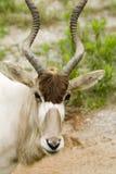addax nasomaculatus Obrazy Stock