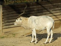 Addax nasomaculatus Royalty Free Stock Photo