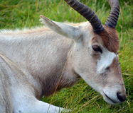 The addax. Addax nasomaculatus, also known as the white antelope and the screwhorn antelope, is an antelope of the genus Addax, that lives in the Sahara desert Royalty Free Stock Image