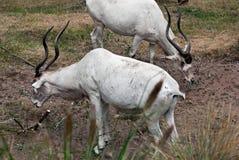 Addax nasomaculatus antelope Stock Photography