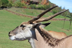 Addax Royalty Free Stock Images