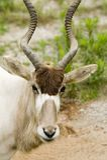 Addax - nasomaculatus d'addax Images stock