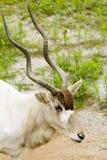 Addax - nasomaculatus d'addax Photo stock
