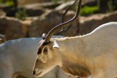 Addax (nasomaculatus do Addax), antílope branco ou antílope do screwhorn, zoologic Imagem de Stock