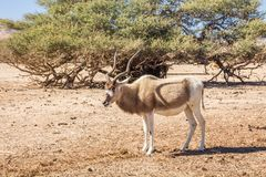 Addax Addax nasomaculatus in the `Hay-Bar` Yotvata Nature Reserve for restoration of extinct animals. South Israel. Addax Addax nasomaculatus, aka screwhorn royalty free stock image