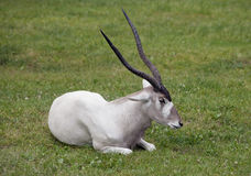 Addax nasomaculatus Stock Photos