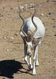An Addax nasomaculatus, the White, or Screwhorn, Antelope Royalty Free Stock Photos