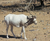 An Addax nasomaculatus, the White, or Screwhorn, Antelope Stock Image
