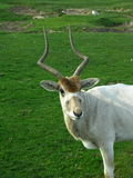 Addax, Posing for the camera african safari on the serengeti Stock Photography