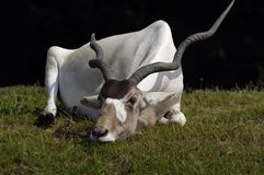 Addax sleeping royalty free stock photography