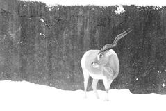 Addax in the snow Stock Photography