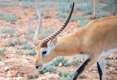 Addax som går i nationalpark Fotografering för Bildbyråer