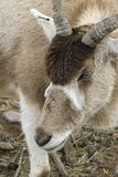 Addax Stock Photography