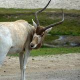 Addax white antelope is an antelope of the genus Addax stock photo