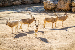 The Addax white antelope in Jerusalem Biblical Zoo, Israel Stock Images