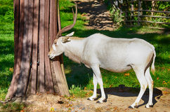 Addax Stock Image