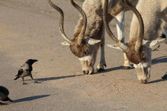 Addax white antelopes and a crow. Dialogue Royalty Free Stock Images