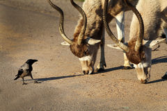 Addax white antelopes and a crow. Dialogue Royalty Free Stock Photos