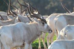 Addax white antelopes. Royalty Free Stock Photos