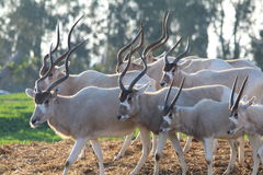 Addax white antelopes Royalty Free Stock Images
