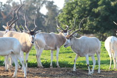 Addax white antelopes. Stock Photos