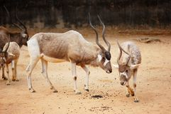 Addax in the zoo Stock Images