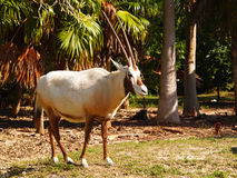 Addax at zoo Stock Images