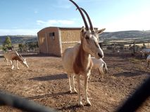 The Addax in Zoo Stock Photo