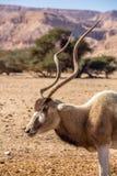 AddaxAddaxnasomaculatus, aka screwhornantilop, vit antilop eller krökt horned antilop royaltyfri bild