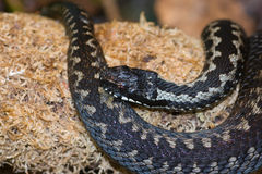 Adder Royalty Free Stock Images