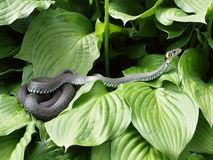The adder. On the green leafs Stock Photography